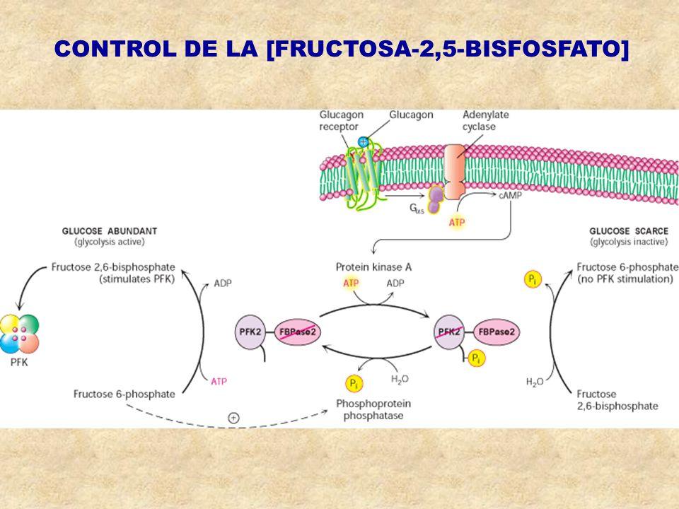 CONTROL DE LA [FRUCTOSA-2,5-BISFOSFATO]